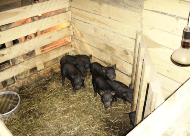 Построить стайку для свиней