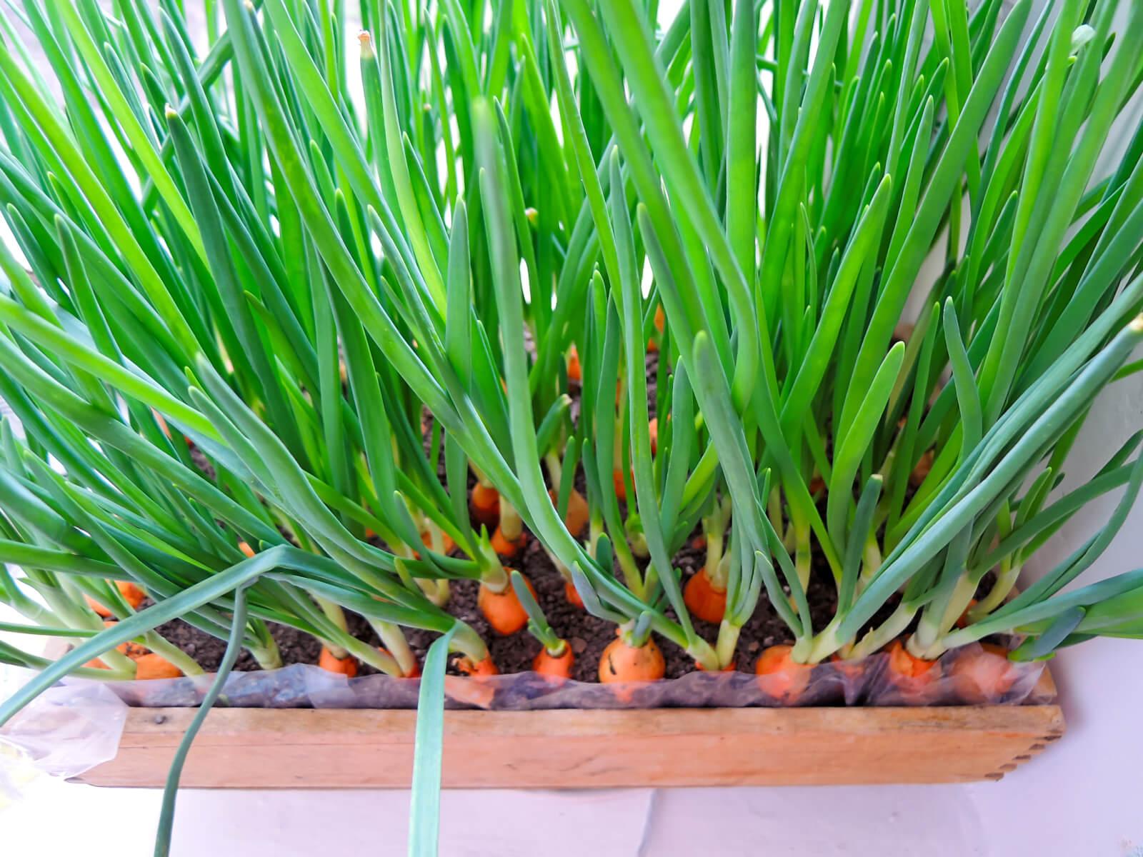 Выращивание лука на зелень - m 65