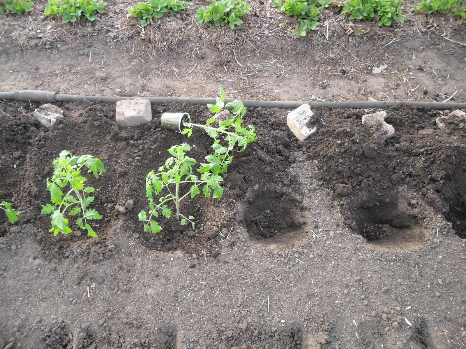 Как правильно сажать рассаду томатов 92
