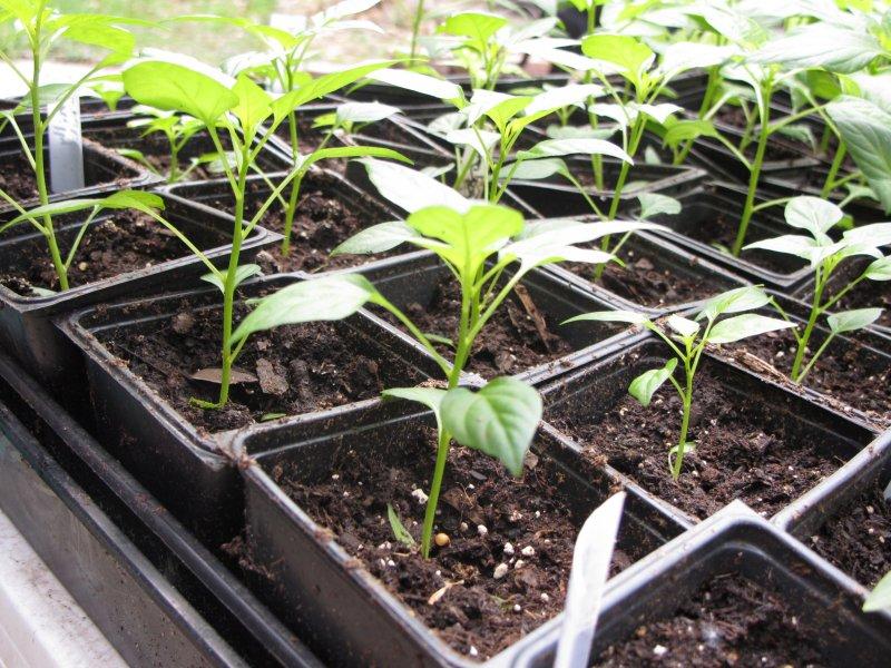 Как сеять перец на рассаду 650