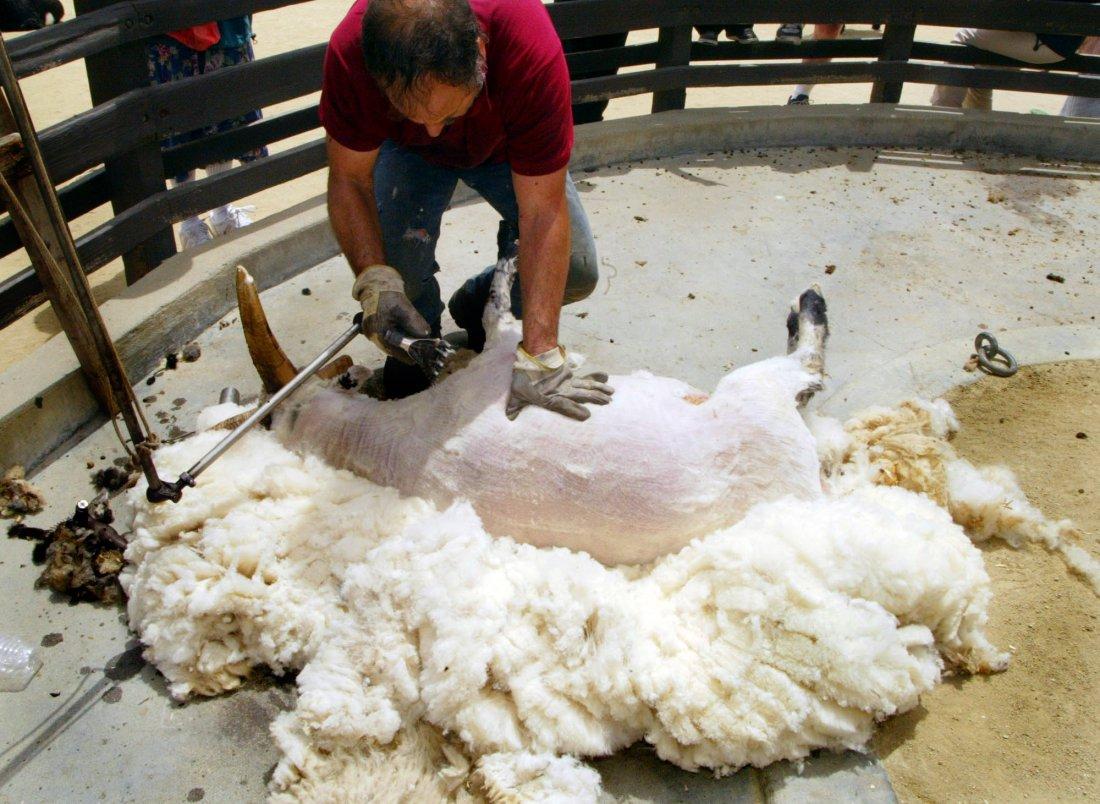 Фото как стригут барана