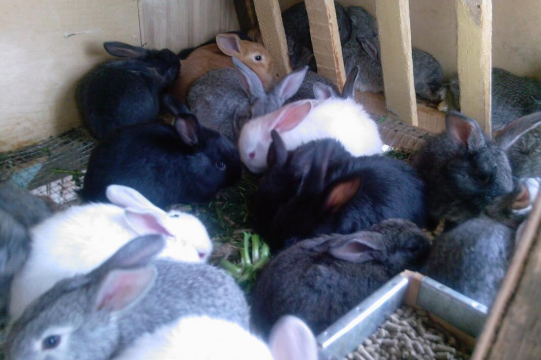 Разведение кроликов в домашних условиях на украине