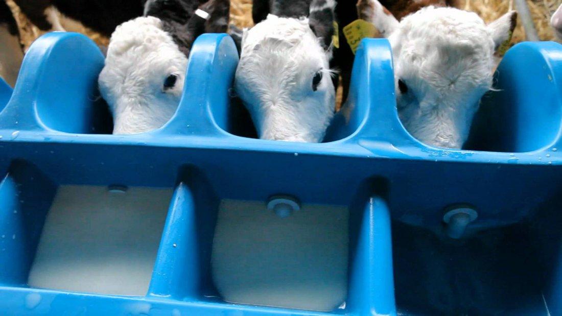 Выращивание телят в домашних 73