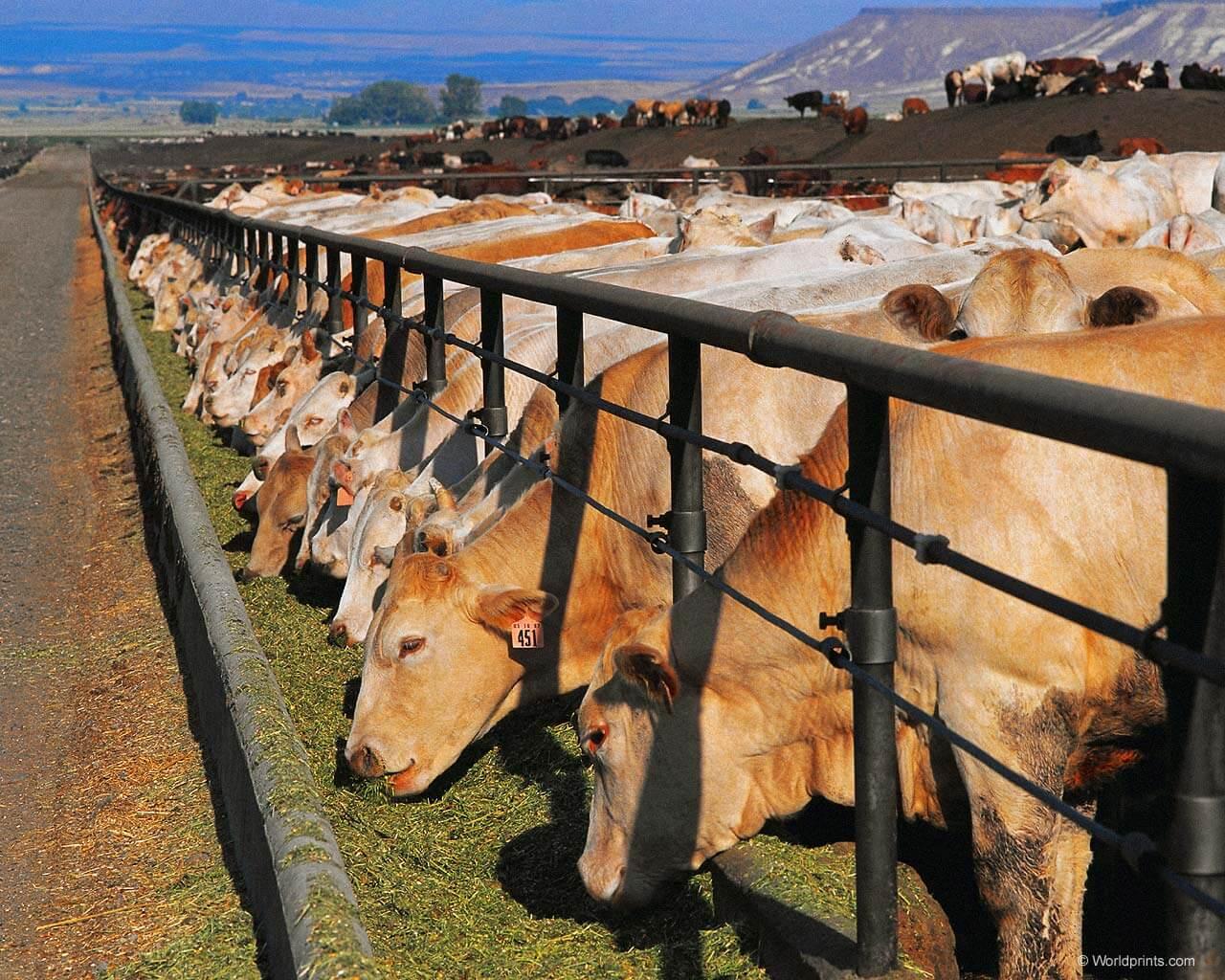 Выращивание бычков рентабельность 5