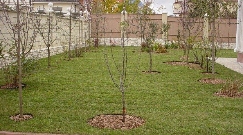 Плодовые деревья для дачи как сажать
