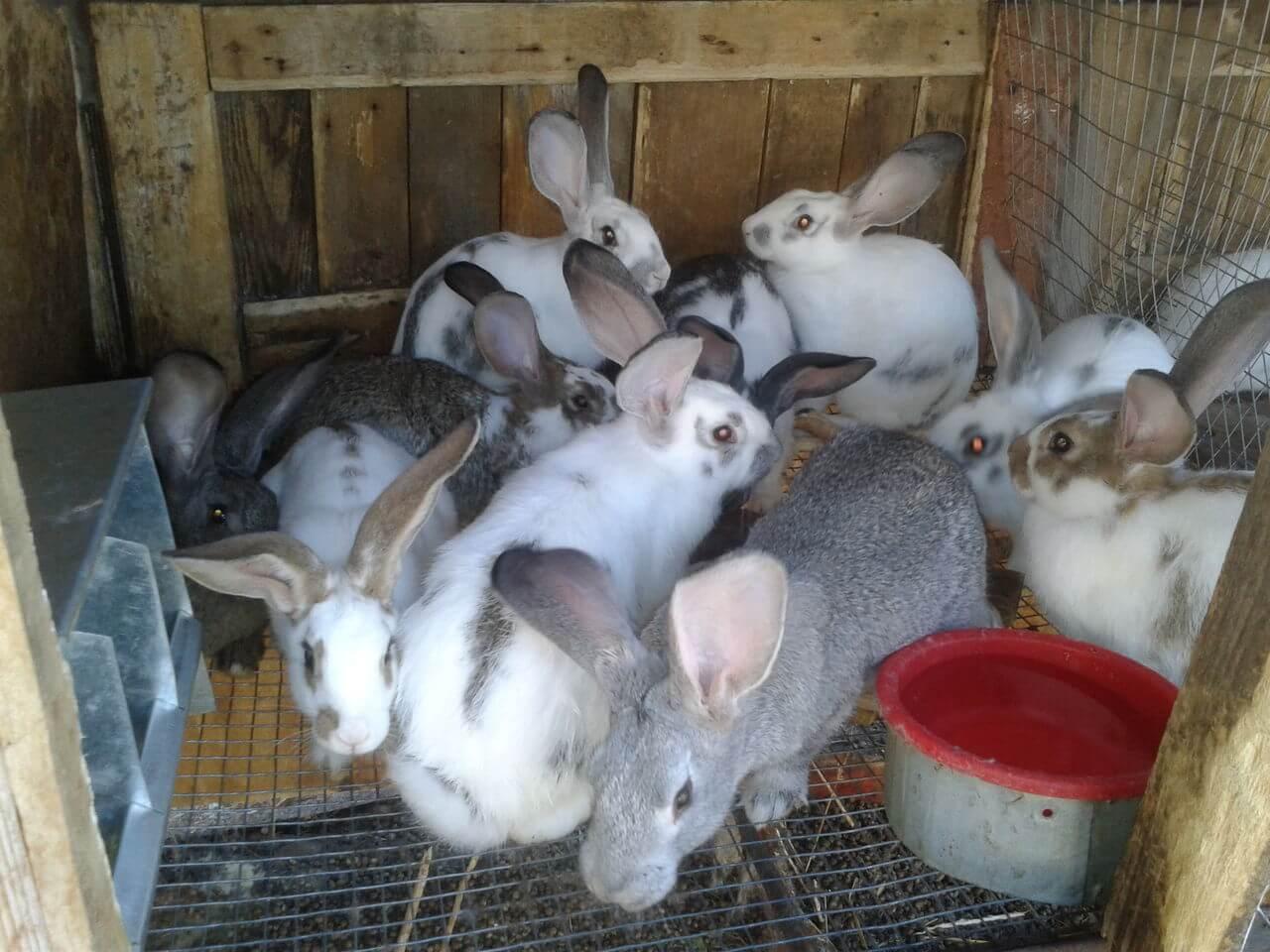 Разведение кроликов в домашних условиях для начинающих 91