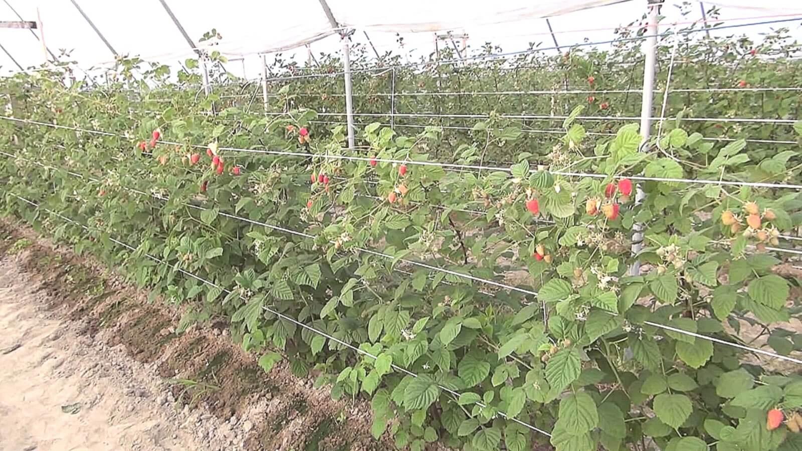 Схема посадки малины у забора