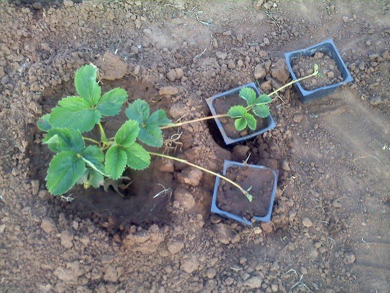 Выращивание усов на рассаду 543