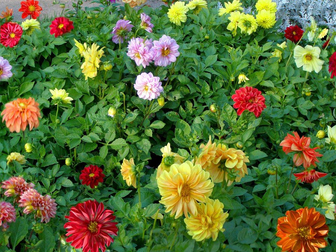 цветы лотоса фото для рабочего стола