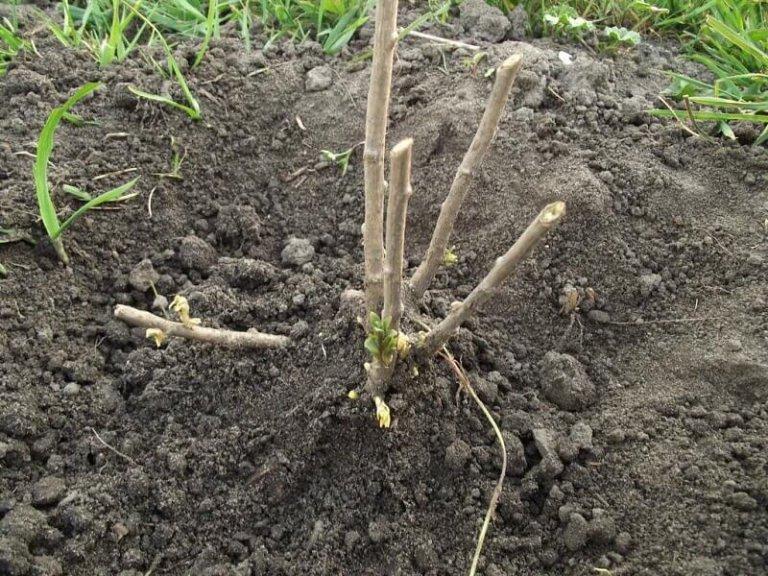 Как сажать калину: выращивание и уход за кустами 31