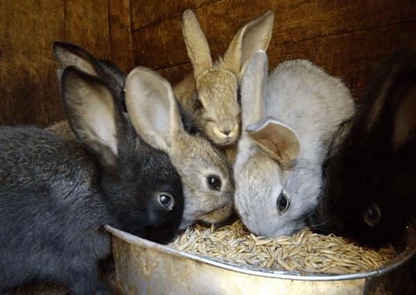 Грубый корм в питании кроликов