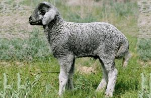 Каракульская порода