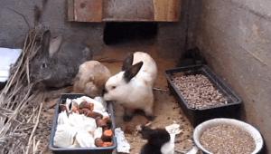 Кормление кроликов в яме