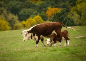 Корова с теленком на пастбище