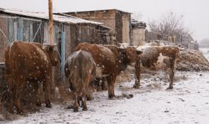 Коровы в зимний период