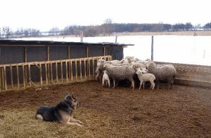 Кошара для овец