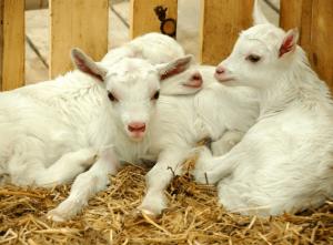 Строим козлятник для коз: материалы и монтаж