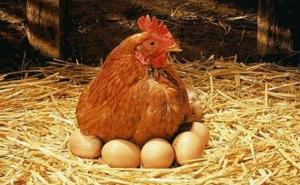 Курица высиживает цыплят