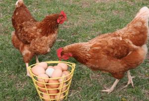 Куры яичной породы