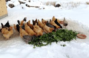 Куры зимой