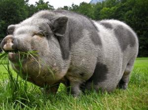 Мясная порода Миргородская