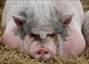 Откорм свиньи на сало