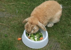 Овощи в питании кроликов