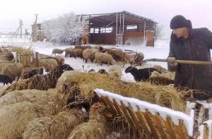 Овцы в холодное время