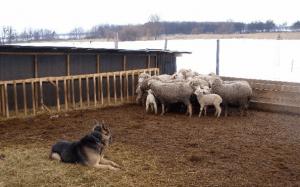 Овцы в кошаре