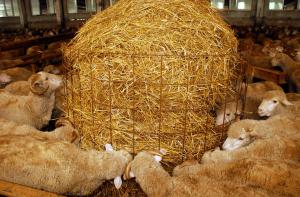 Питание овец на личном подворье
