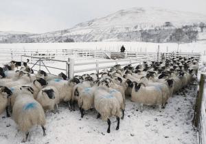 Овцы в загоне зимой