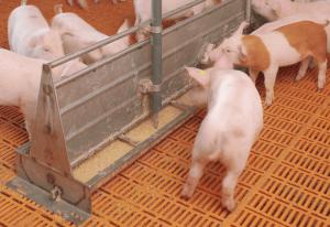 Правильный корм для свиней для быстрого роста при разных видах откорма