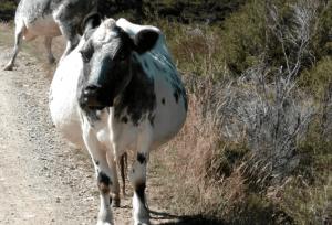 Как запустить корову перед отелом: кормление и содержание