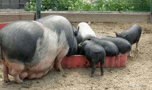 Рацион для вьетнамских свиней