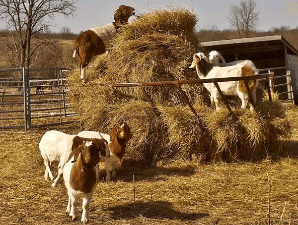 Сено для козы
