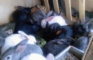 Содержание кроликов в подсобном хозяйстве