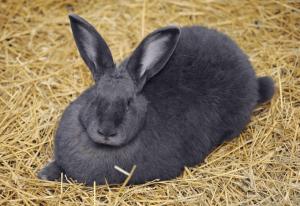 Как проявляется кокцидиоз у кроликов, лечение разными методами