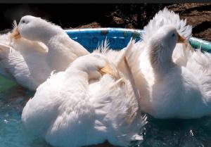 Утки купаются