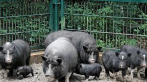 Вислобрюхие свиньи в хозяйстве