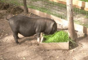 Зеленый корм для травоядного поросенка
