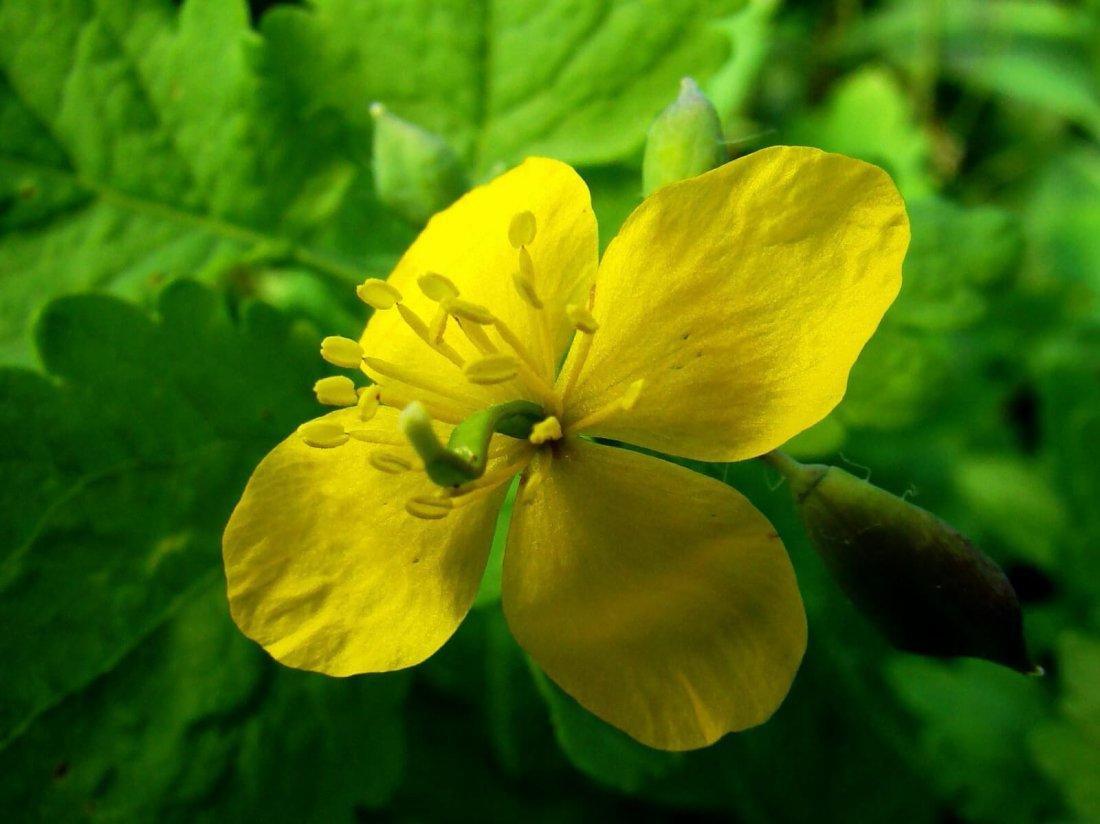 Чистотел - ядовитое растение