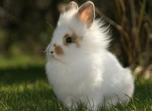 Карликовый львиноголовый кролик