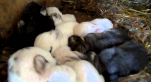 Крольчата без матери