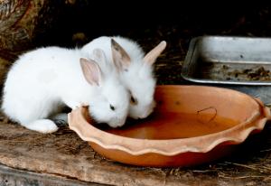 Крольчата пьют