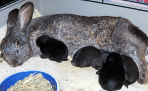 Крольчиха с крольчатами