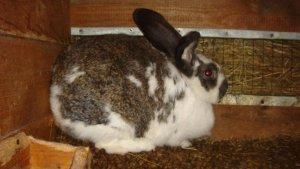 Крольчиха ждет потомство