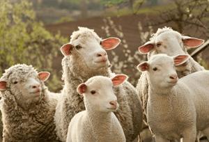 Несколько овец - для начала