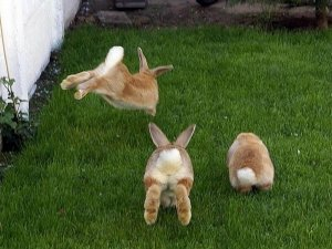 Подросшие крольчата играют