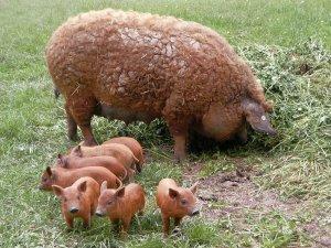 Кудрявая порода свиней