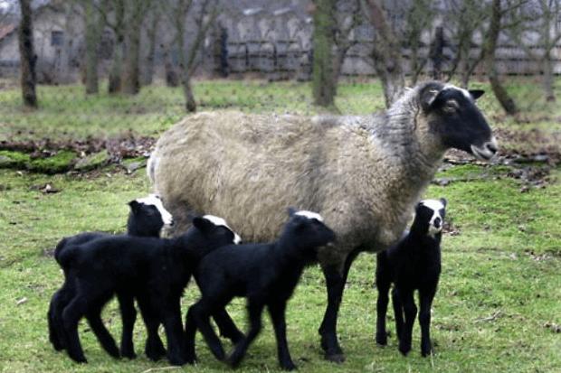 Чем отличается разведение овец романовской породы, как увеличить рентабельность